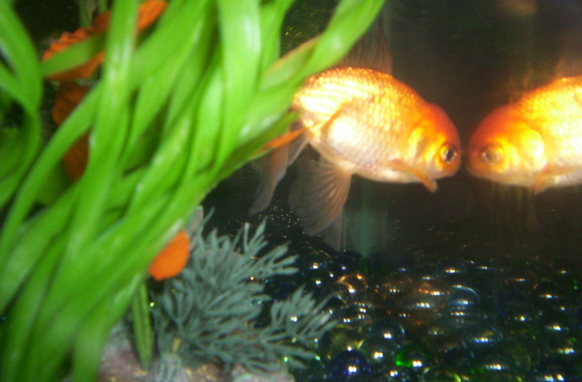 A Love Story ,my Goldfish and Swim Bladder