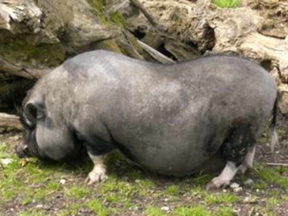 Miniature Potbelly Pigs