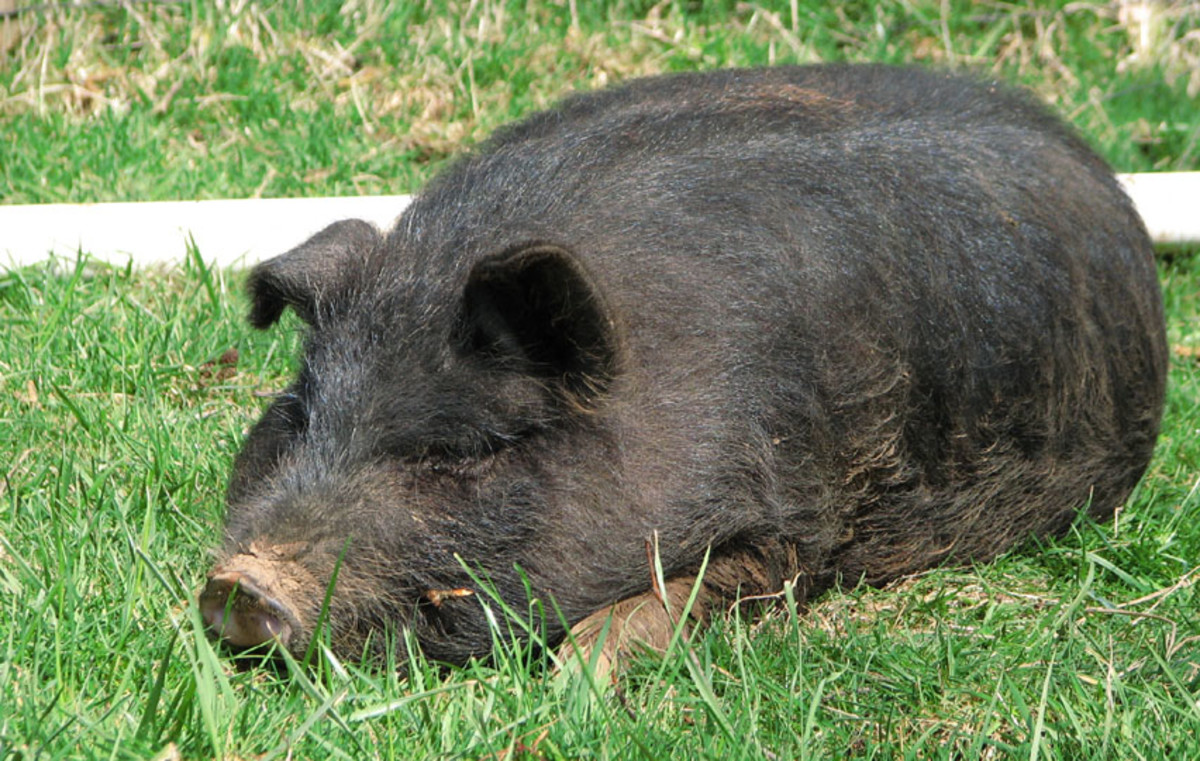 miniature-pigs-the-guinea-hog