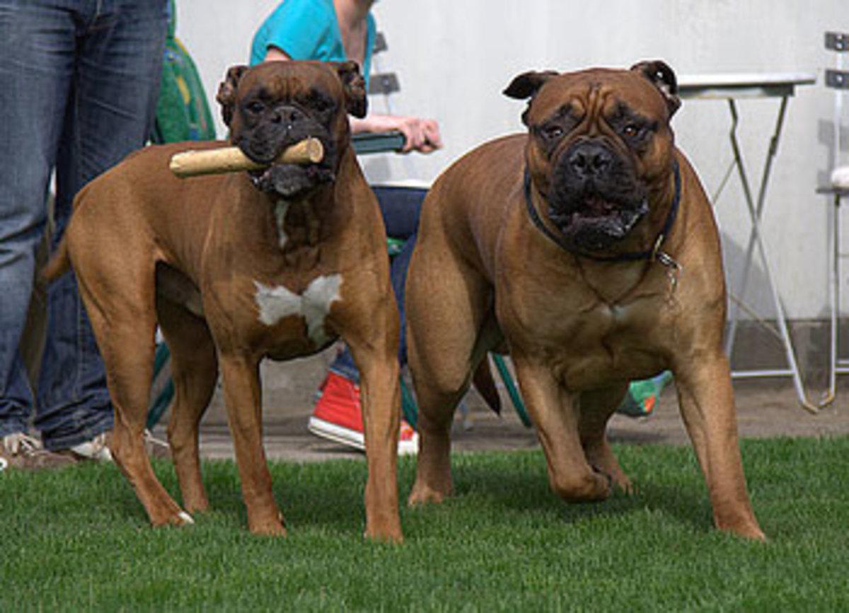 Boxer (left) and Bullmastiff (right)