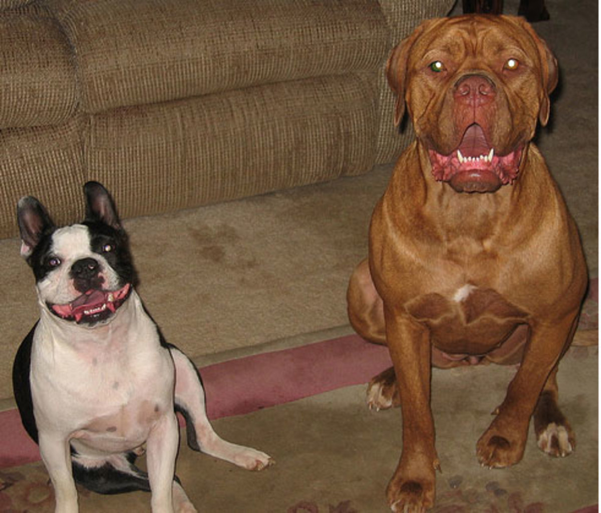French Bulldog (left) and French Mastiff (right)