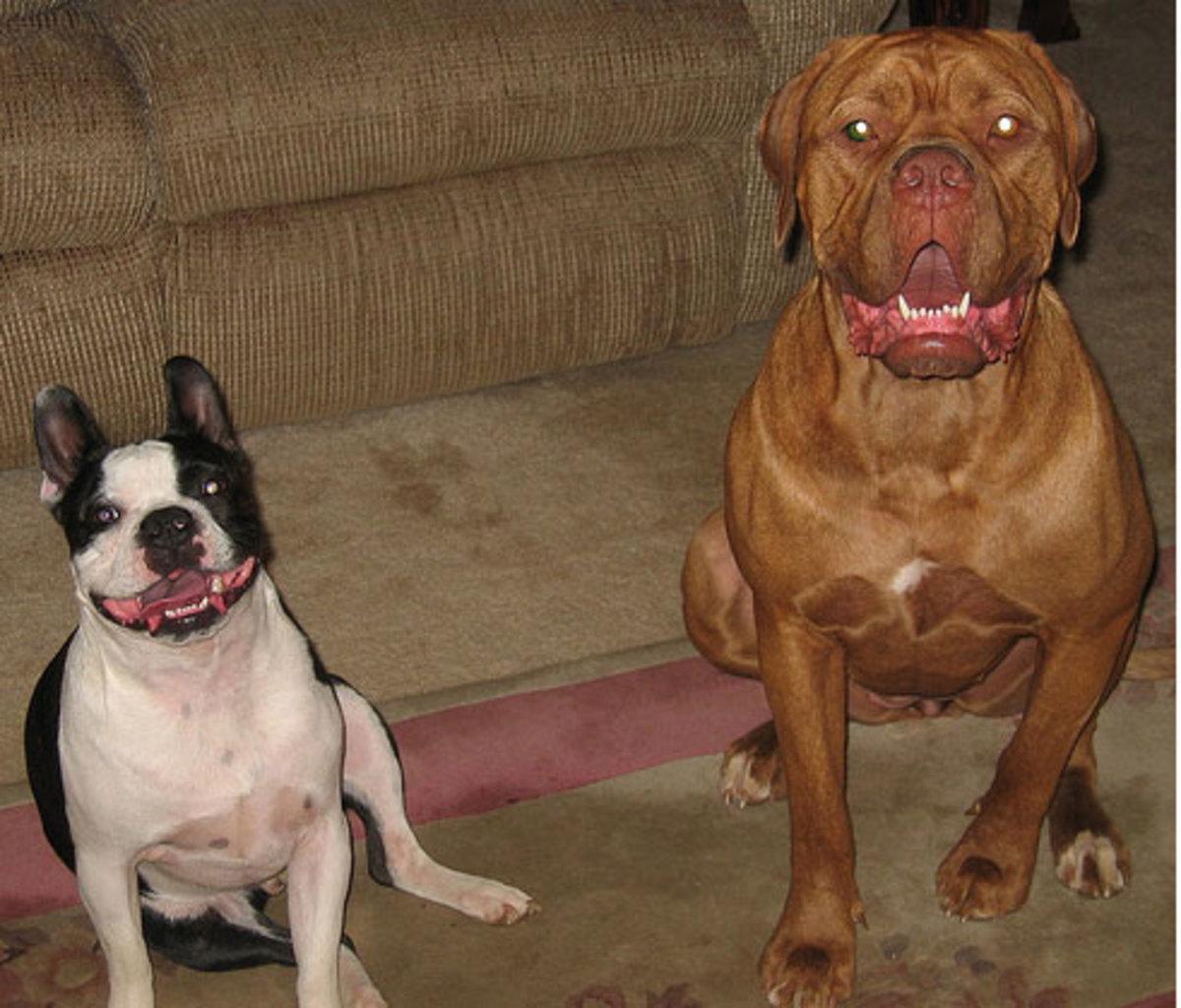 French Bulldog (left) and French Mastiff (right)