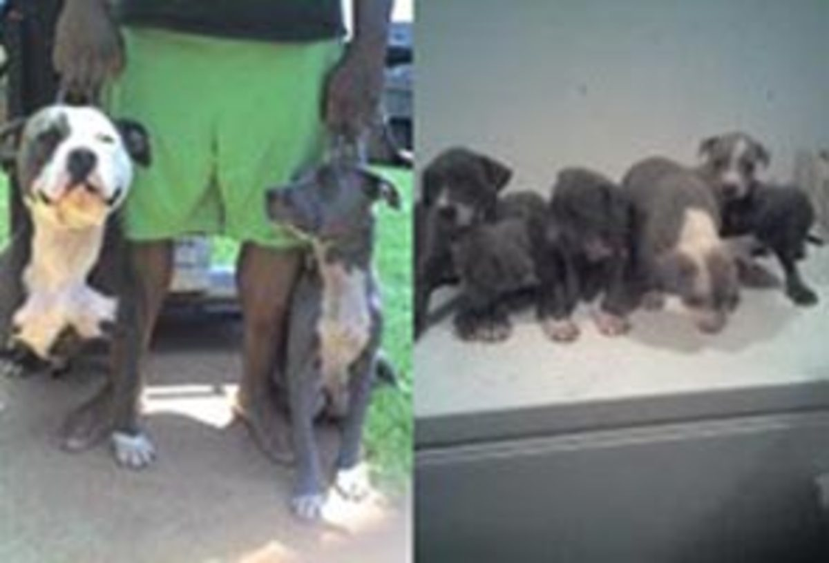 Parents- father on left and mother on right; Litter Minus the Boys (MIA is the far left puppy)
