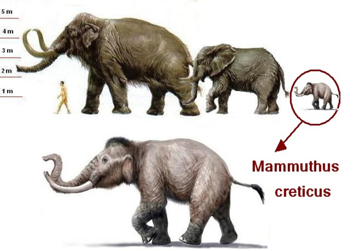 From left to right: A normal sized mammoth, a modern elephant, a dwarf mammoth Mammuthus creticus.