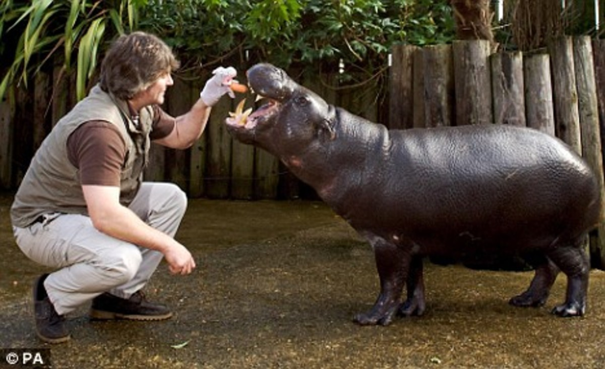 "Pygmy Hippo ""Chico"" being fed at the Heythorp Zoological Gardens, UK."