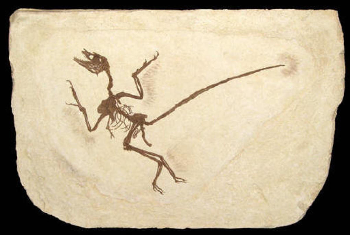 "Fossil with primitive ""flight feathers"" on arms and legs (likely for gliding)"
