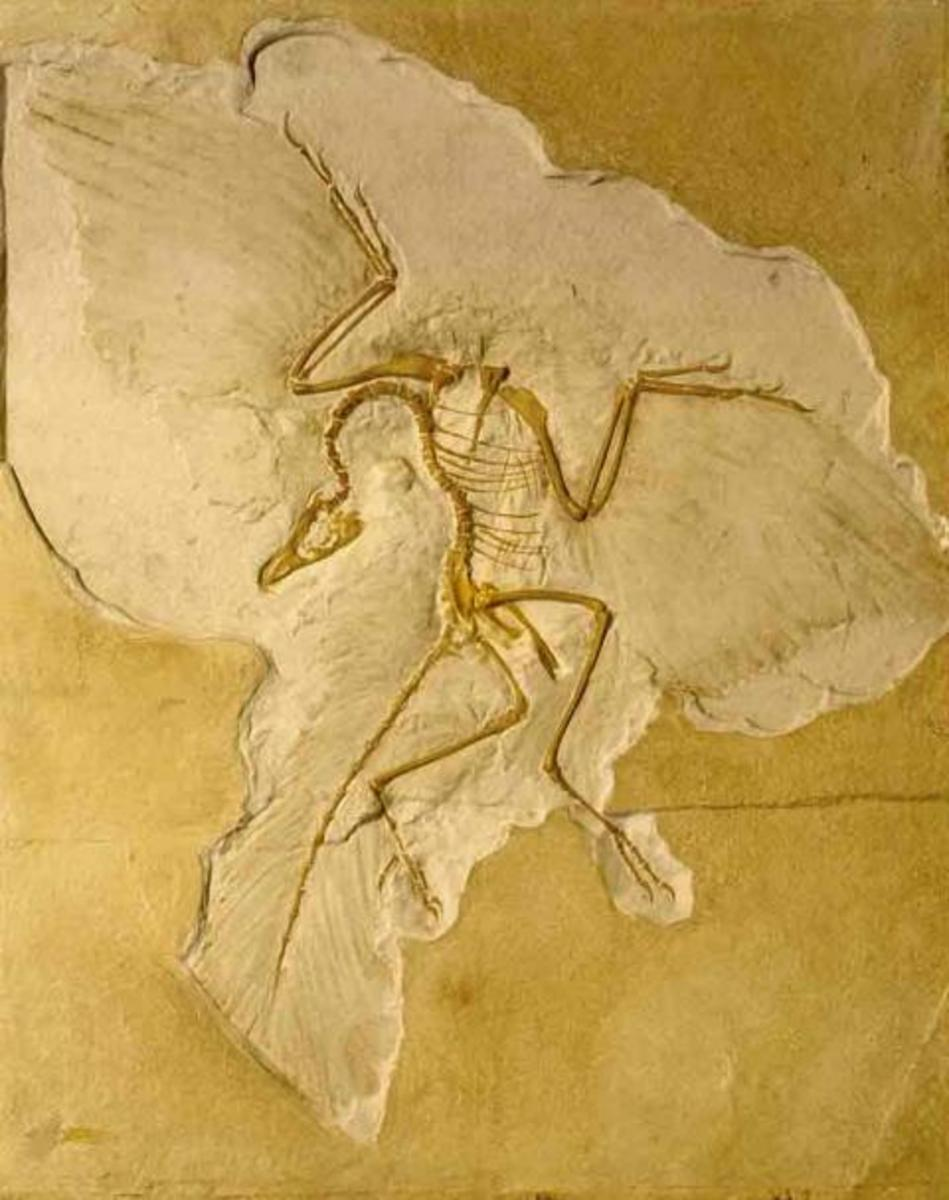 Archaeopteryx fossil with clearly visable feathers.