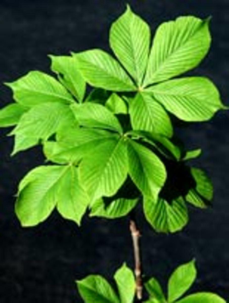 A young buckeye tree.