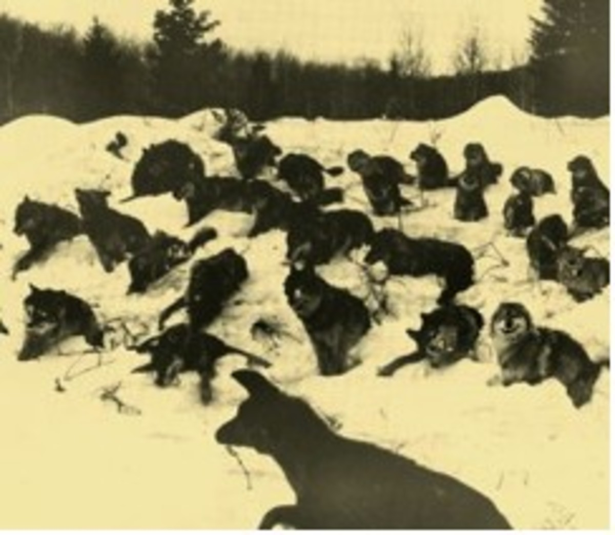 Figure 5. An entire pack of poisoned wolves.