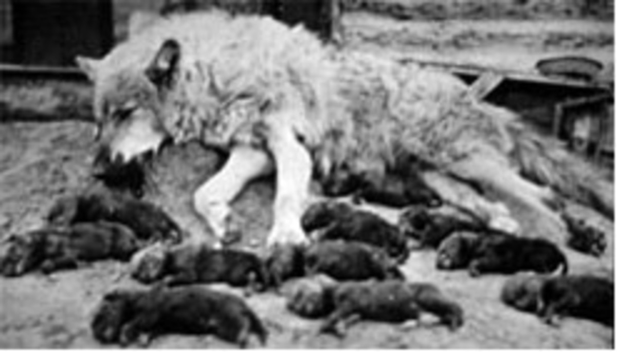 Figure 3. A mother wolf and her 10 newborn pups killed.