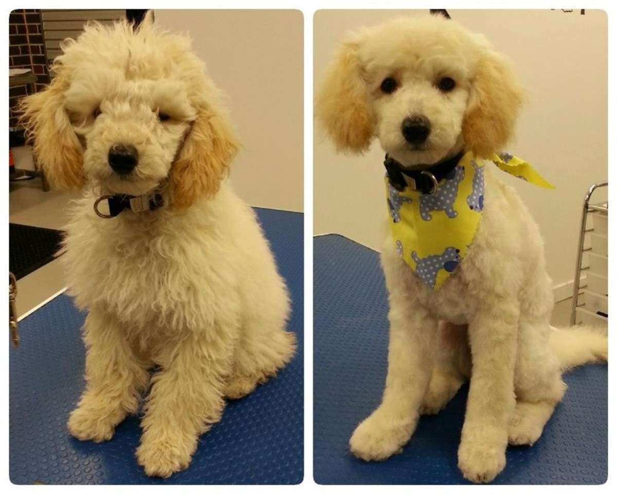 Before and After Dog Grooming
