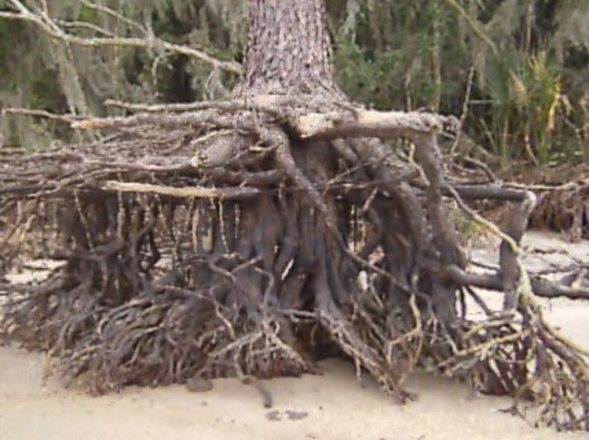 Tree roots washed away by the tides and wind