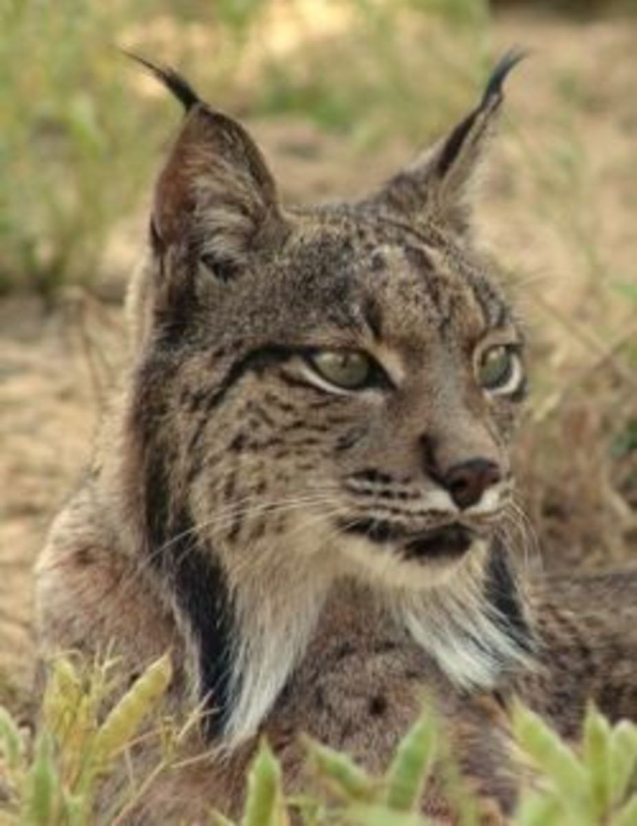 The handsome lynx