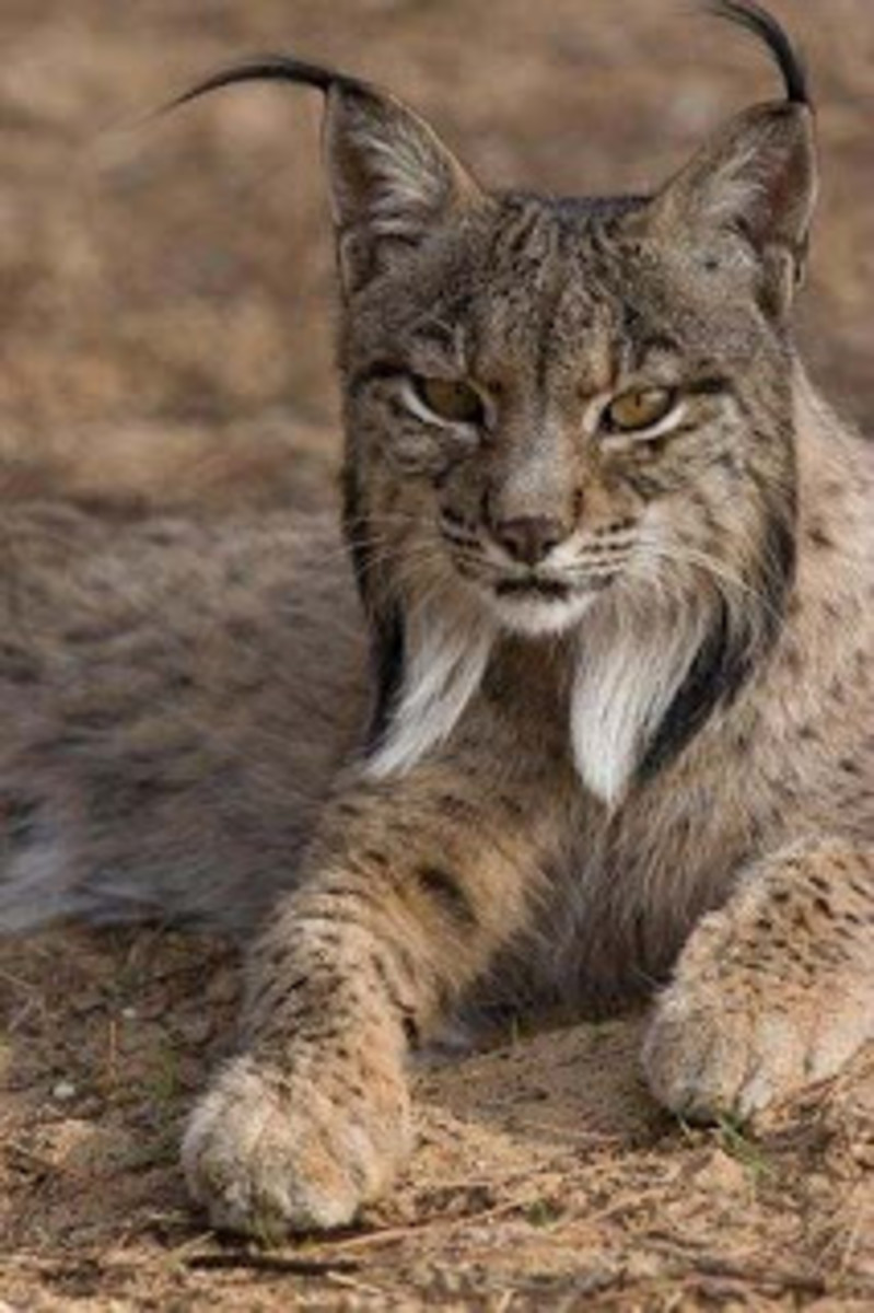 The critically endangered lynx