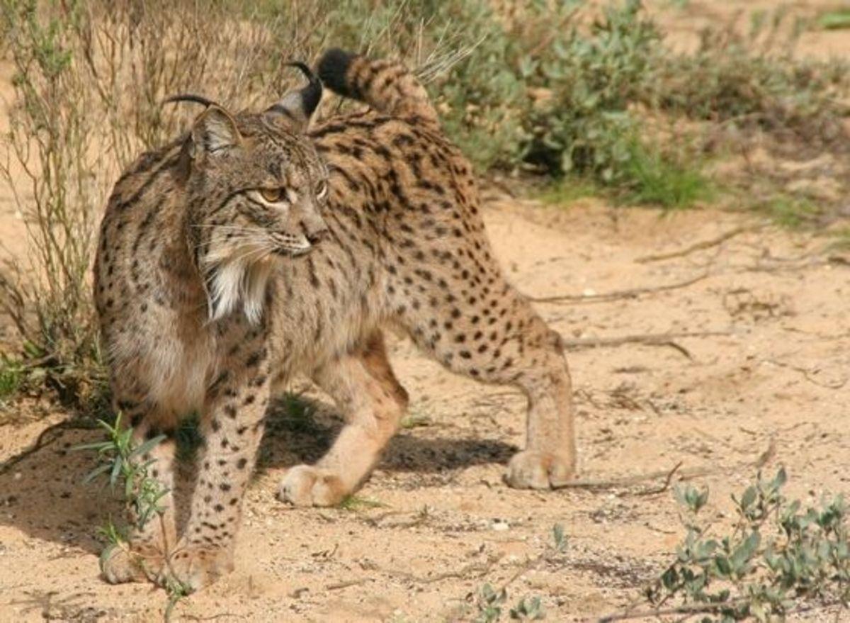 The last lynx?