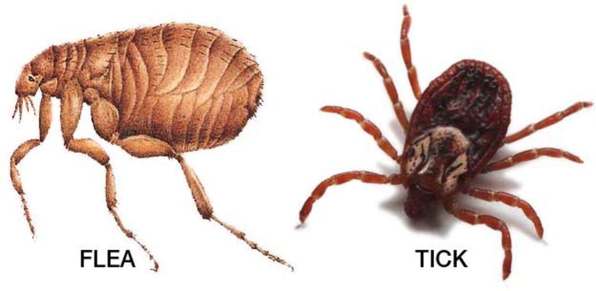 Diseases Spread to Animals by Fleas and Ticks