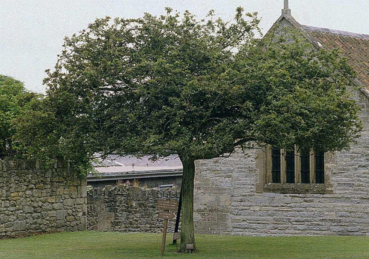 The Holy Thorn, shown in summer of 1984