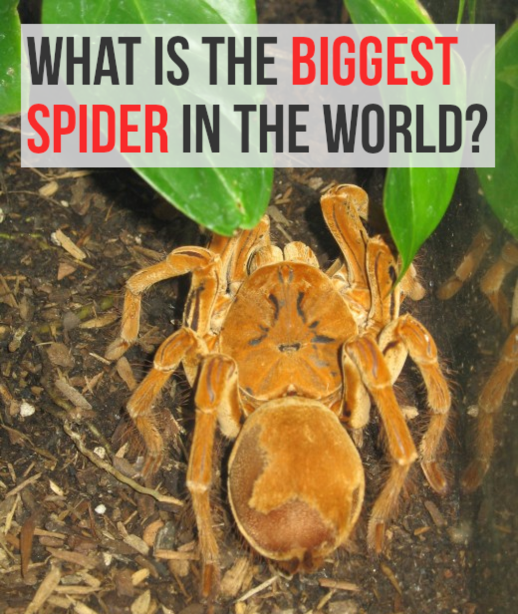 Biggest Spider in The World: Top 5