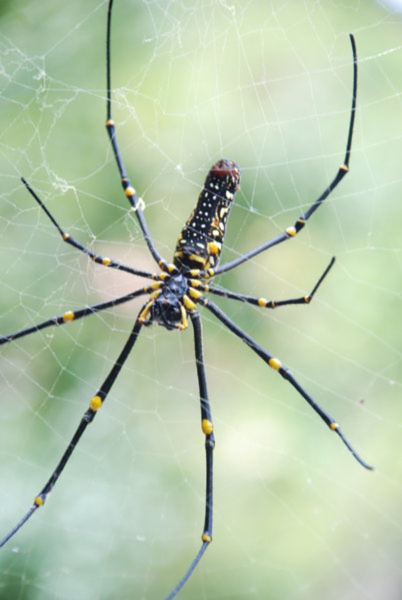 A golden silk orb-weaver spider.  The female of some types can have a leg span of up to 6 inches.  The spiders are famous for their complex and beautiful webs, woven with golden spider silk.  Orb weavers have been known to catch birds and snakes.