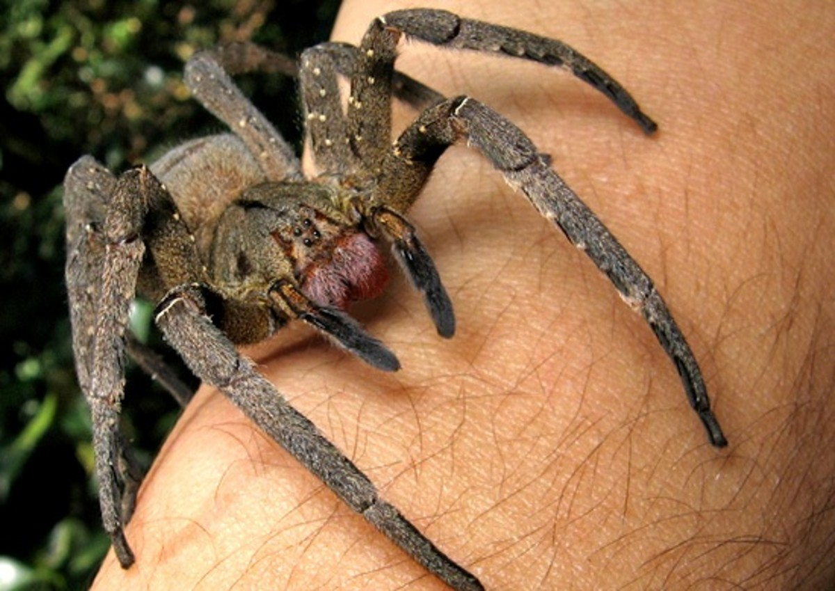 These spiders have a powerfully venomous bite (generally believed to be the strongest in the world) and should therefore not generally be handled.  The spiders get their name because they wander around the jungle floor at night, looking for prey.
