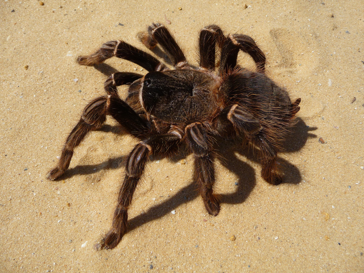 The Salmon Pink is a popular pet amongst tarantula lovers, thanks in part to its attractive coloring, black body with vibrant pink markings.  Despite its full name, the spider rarely eats birds, focusing instead on insects, lizards, frogs and mice.