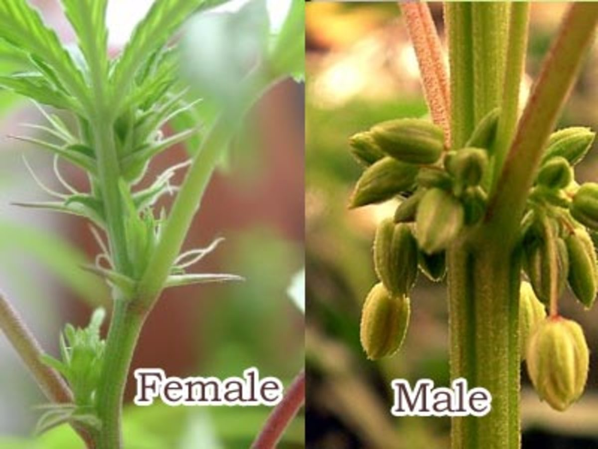 The Difference between male(Staminate) and female(Pistillate) flowers of Cannabis Plant