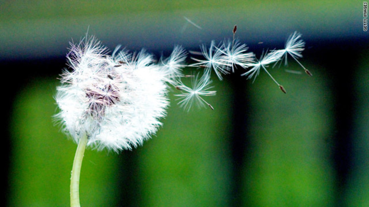 The lament of Dandelion-an Apomict (practice Asexual reproduction) ONLY in flowering PLANTS