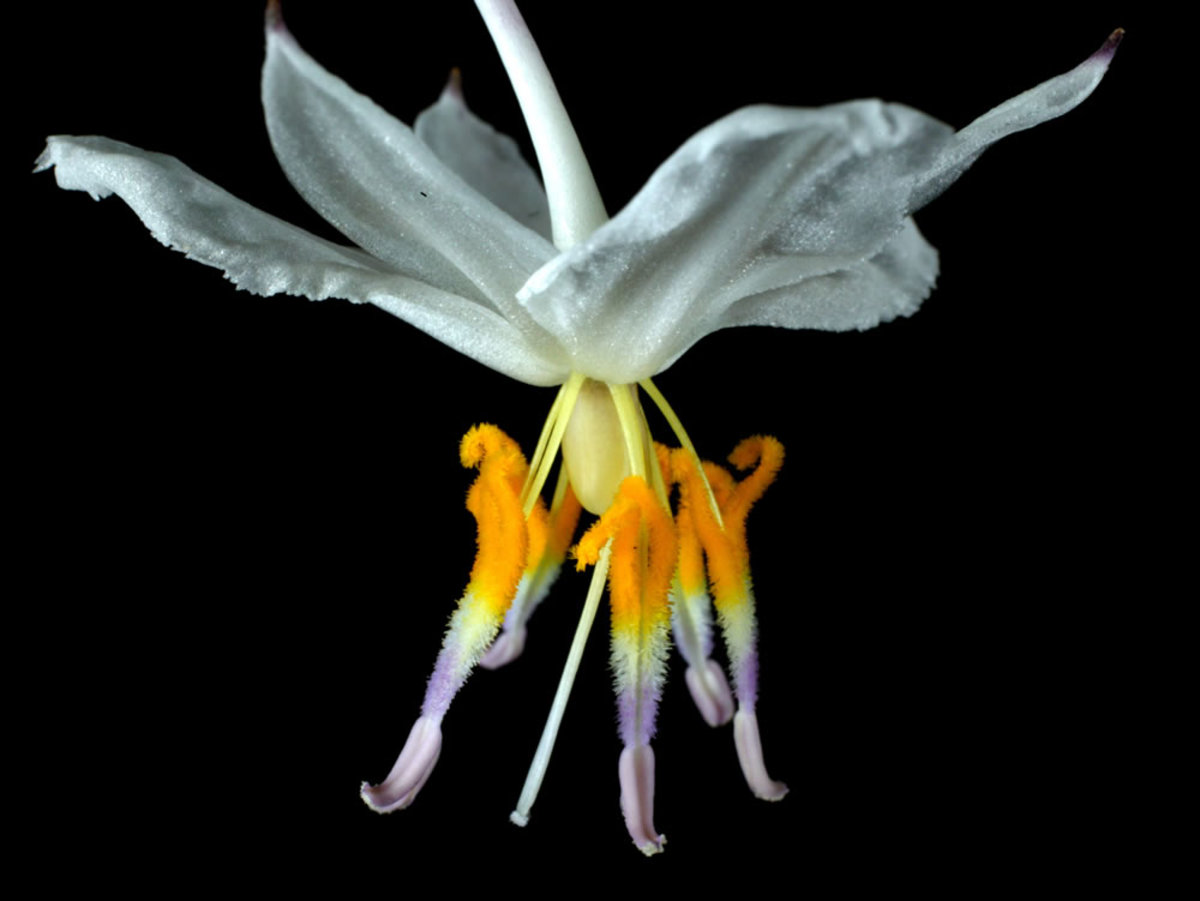 Staminate dominance-Showy Anthers-more attractive than petals?