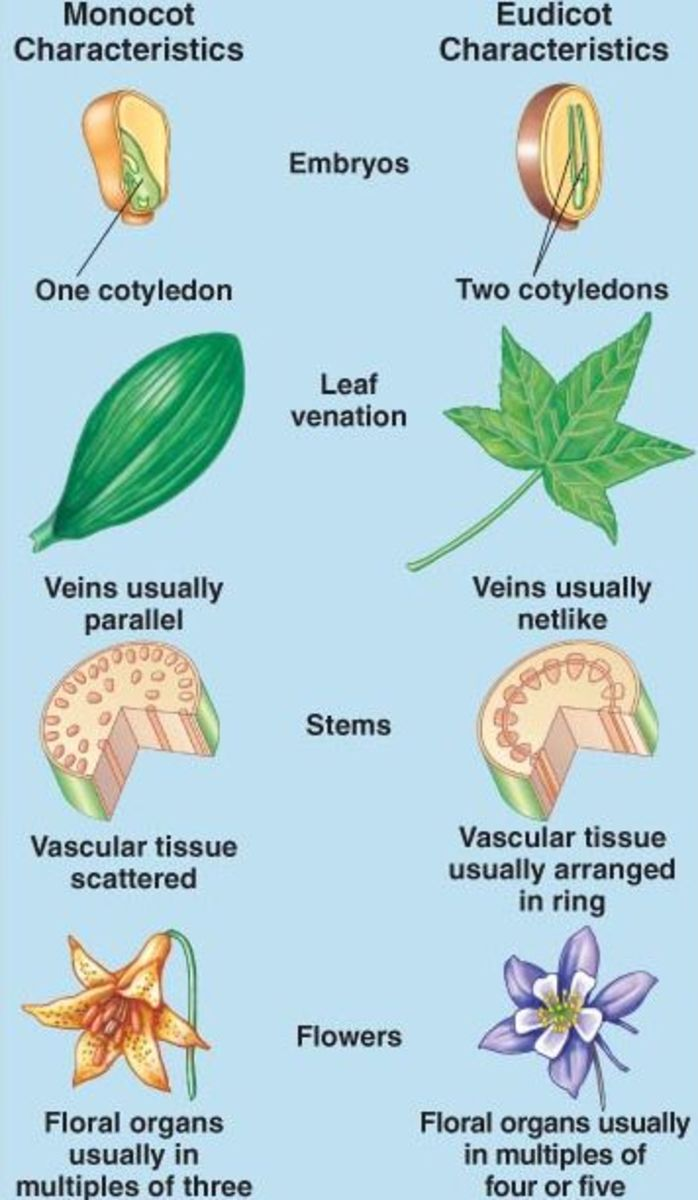 Morphological Differences between Monocot        and Dicot plants