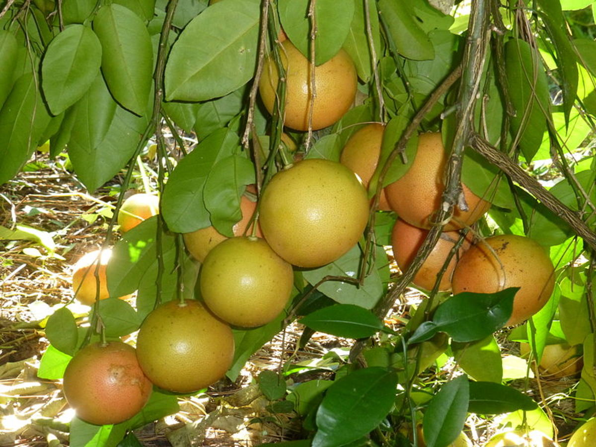 Grapefruit is a evergreen fruit