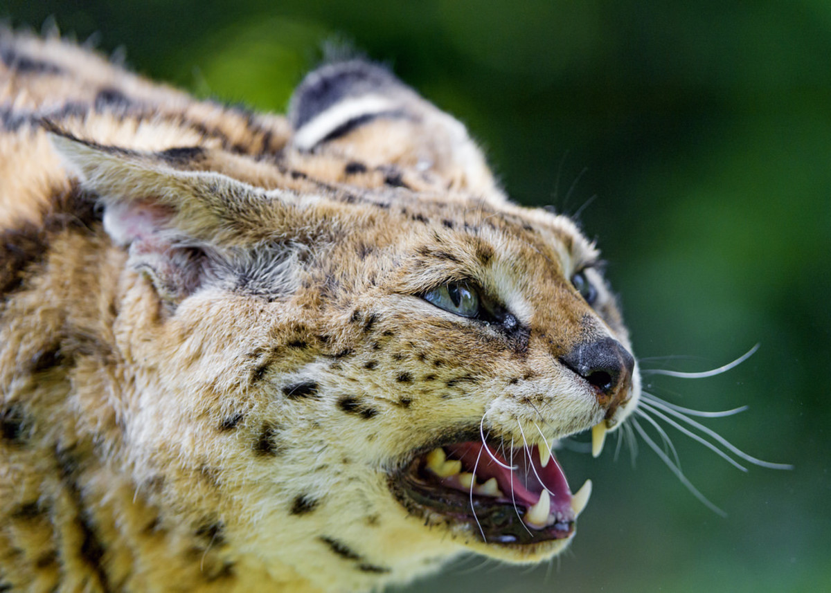 A Serval Hisses