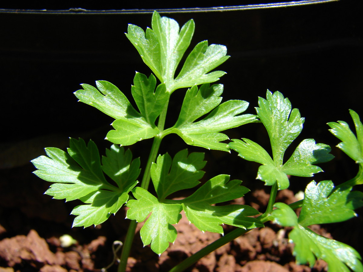 Parsley Herb | Nutrition | Health Benefits | Recipes