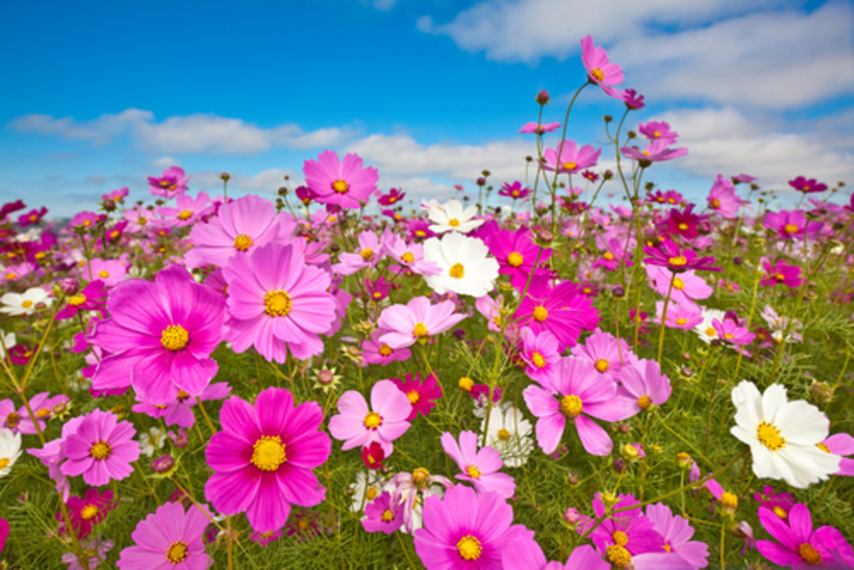 Cosmos in South Africa