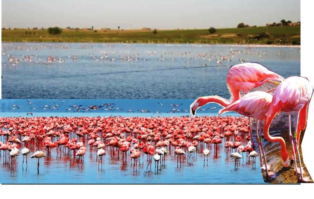 Flamingos near Viljoenskroon, Free State