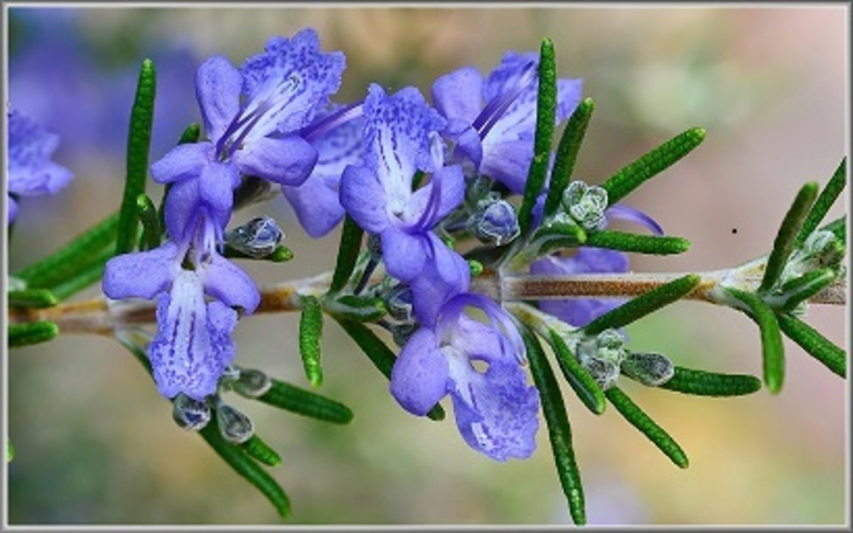 A close up of a blooming flower of rosemary