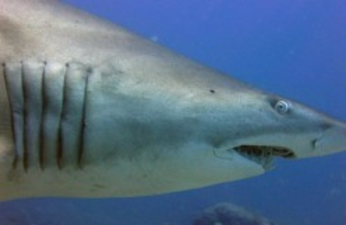 Here you can clearly see the shark's gill slits.