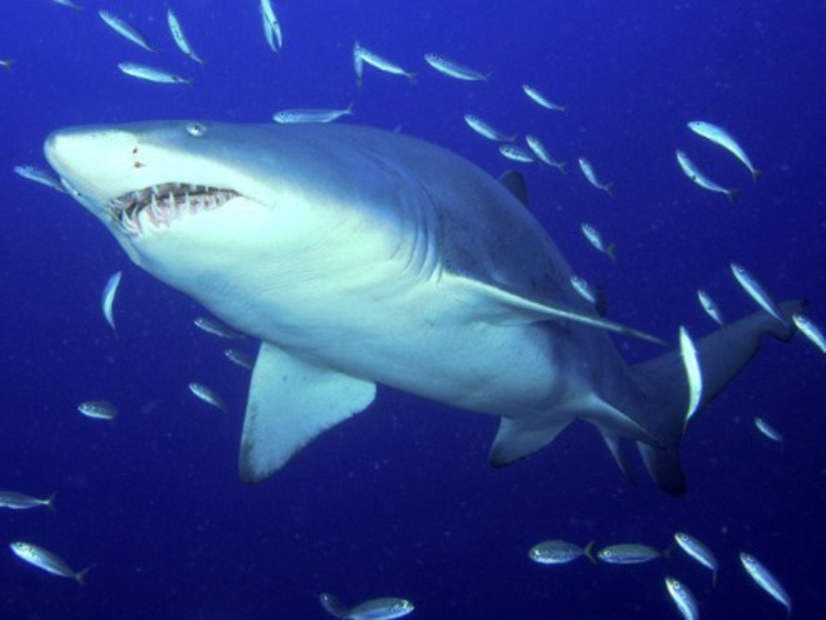 What Makes a Shark a Shark and Not Just Another Fish?