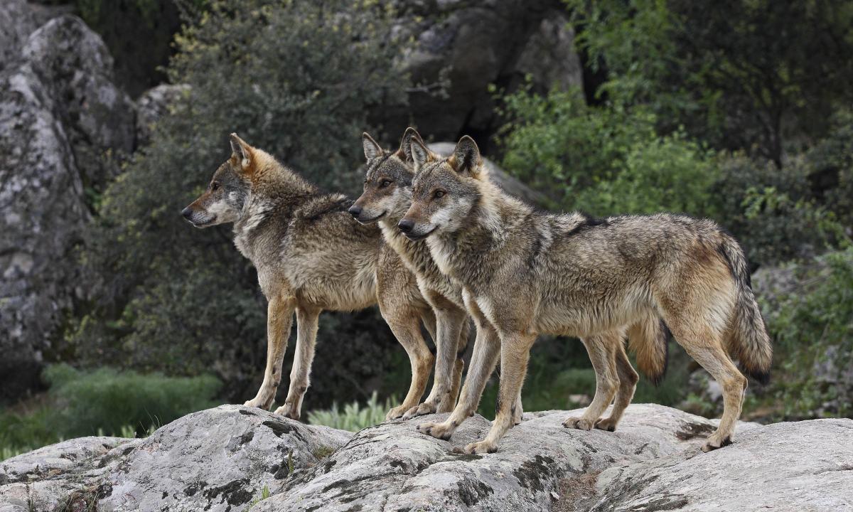 wolfwatch.uk