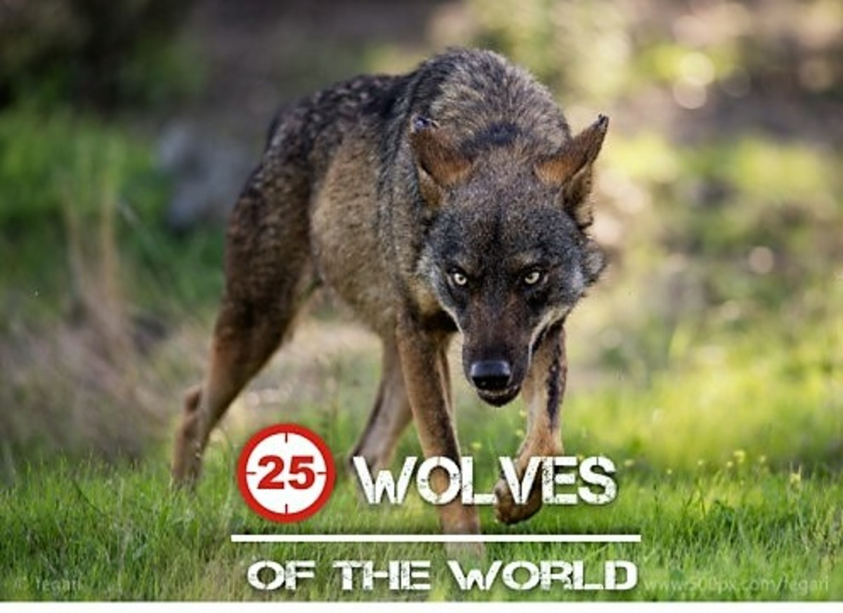 The 25 Wolves of the World