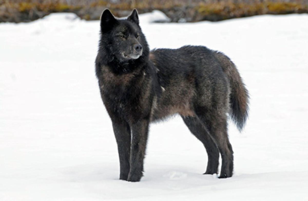 Alaskan Alexander Archipelago Wolves