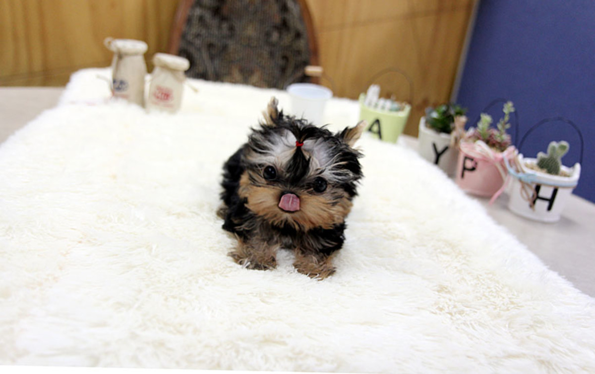 Cookie the Teacup Yorkie heading for a treat!