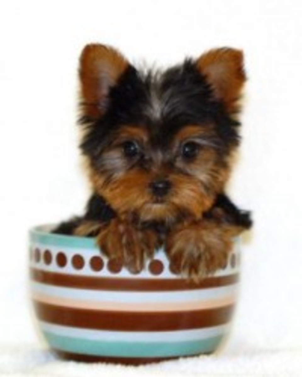 A Yorkie in a Teacup! She would make a great Brown Betty.