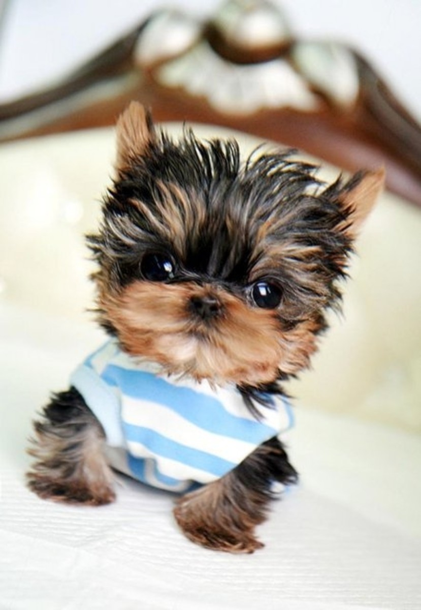 This Teacup Yorkie is already thinking about his new name, Trifle.