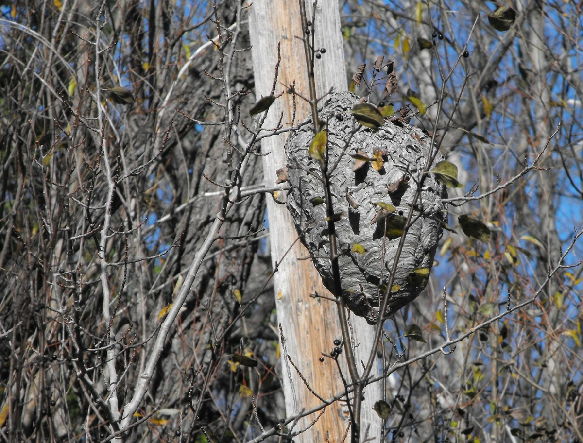 Wasps made their nest in this tree