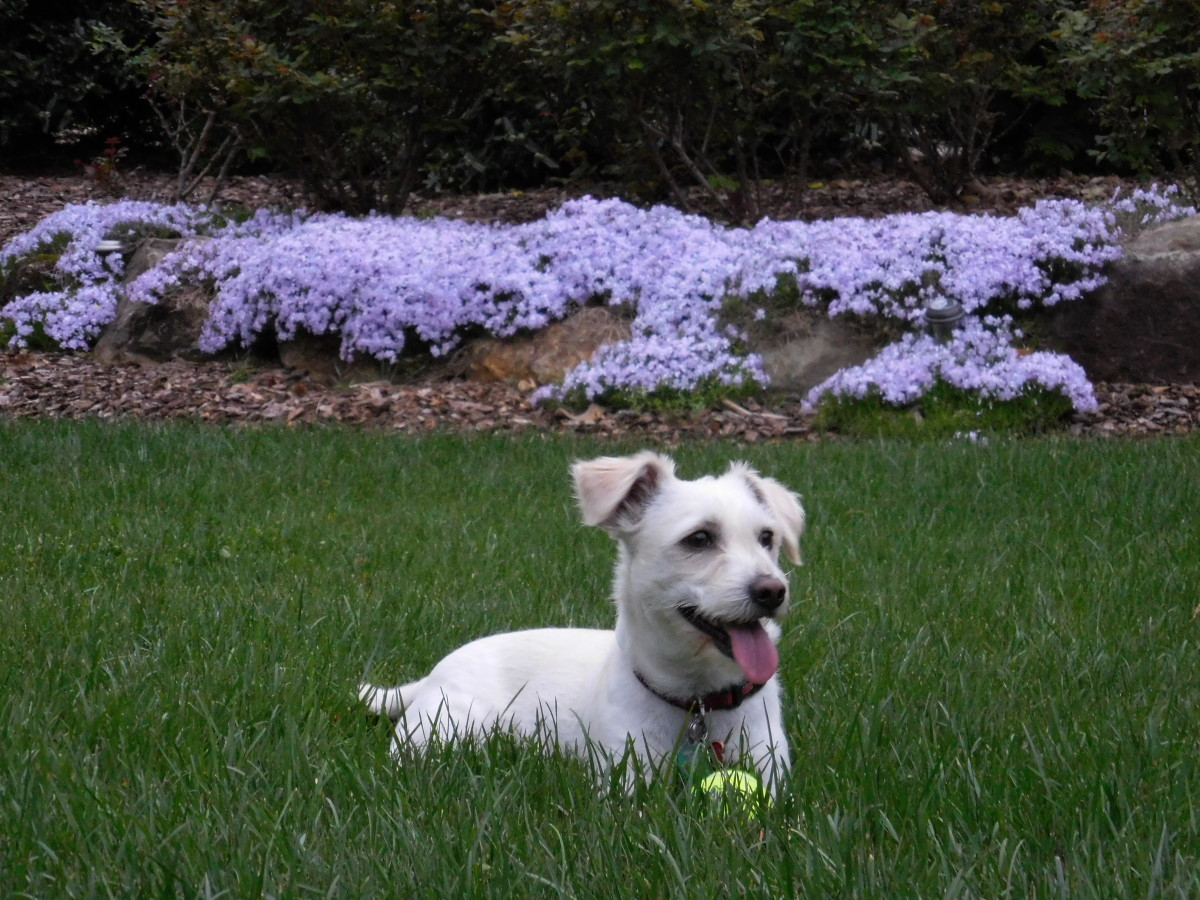 My Jack Russell Westie Mix