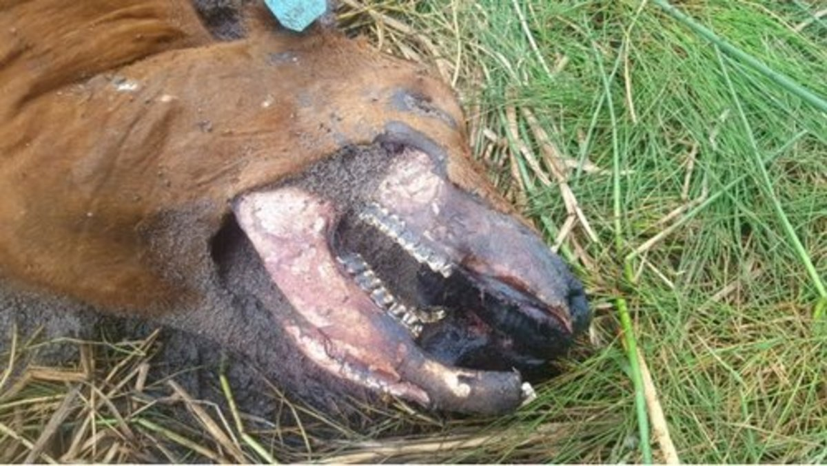 Close-up view of the mutilated animal.