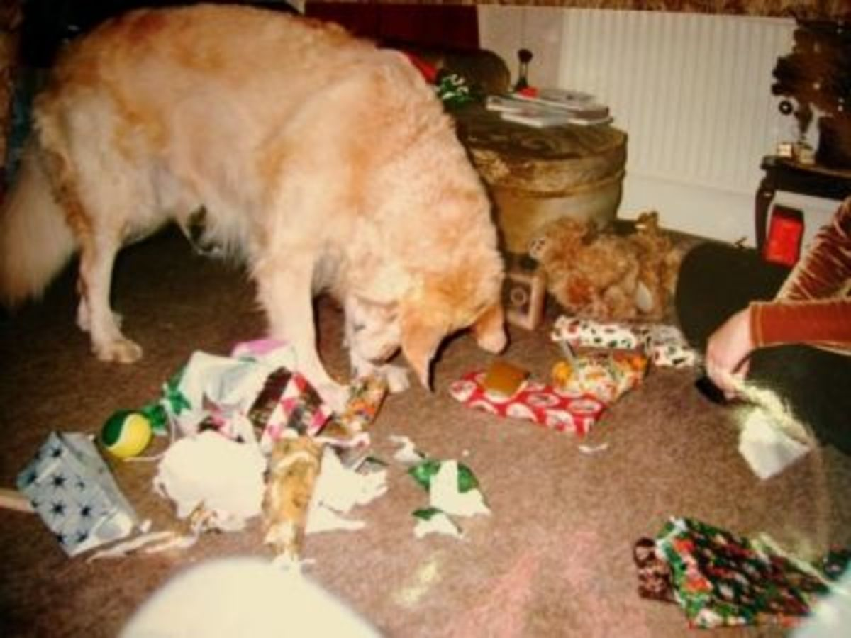 Goldie At Christmas Opening Pressies !