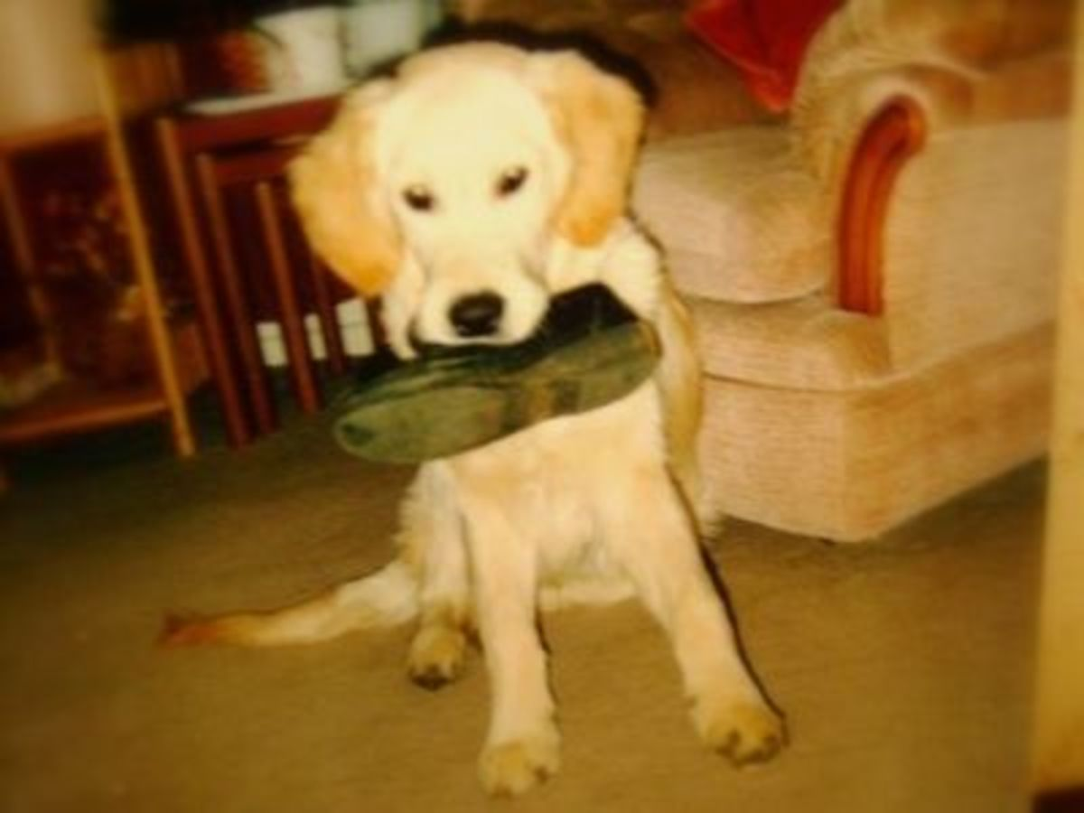 Retriever Goldie Loved Carrying Especially Shoes and Socks!