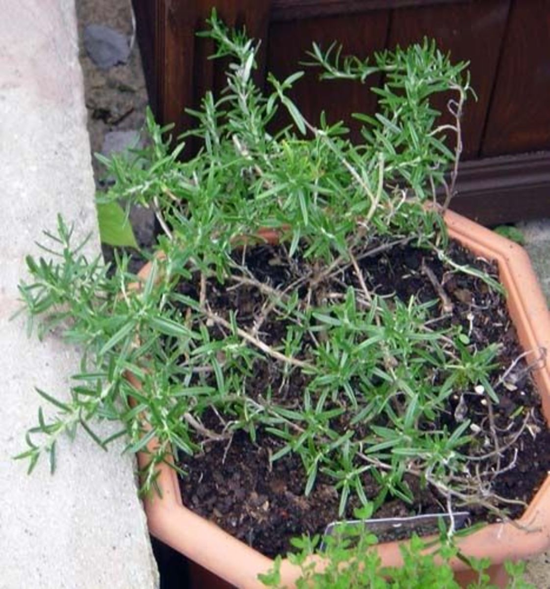 Rosemary in a flower pot.