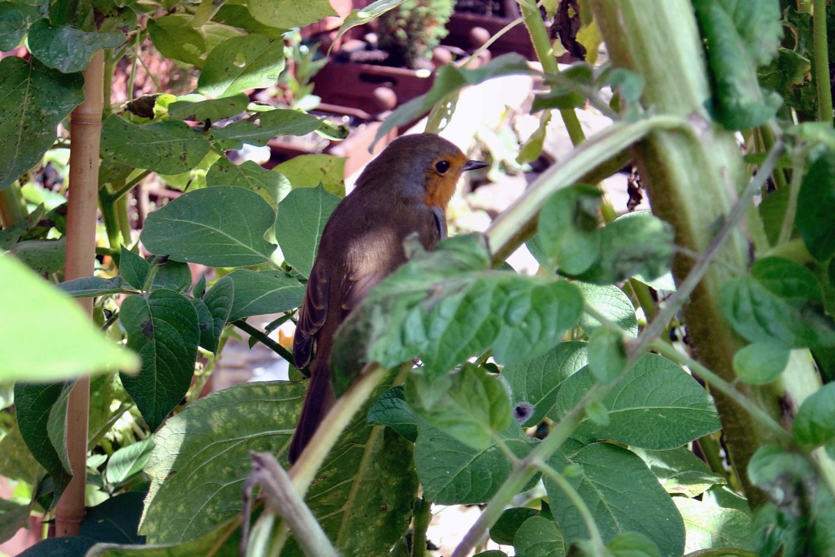 Robin on Sunflower Plant.